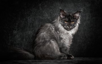cat, muzzle, mustache, look, black background, maine coon, robert sijka