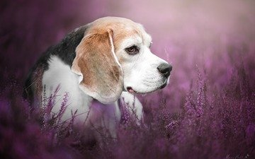 flowers, look, dog, profile, lucy, beagle, mona höhler