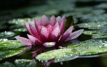 листья, цветок, капли, лепестки, пруд, кувшинка, водяная лилия