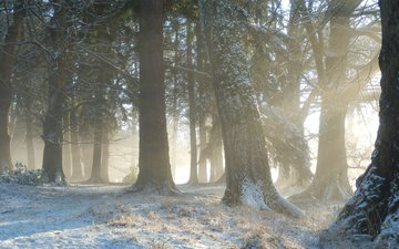 trees, snow, nature, forest, winter, morning, fog, trunks