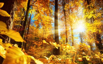 trees, the sun, nature, forest, leaves, trunks, autumn, smileus