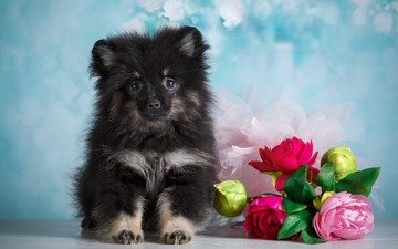 flowers, background, muzzle, look, dog, puppy, bouquet, peonies, spitz, dog.