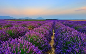 цветы, природа, пейзаж, поле, лаванда