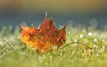 трава, макро, осень, лист