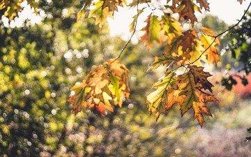 листья, макро, ветки, осень, боке