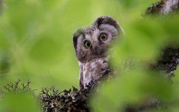глаза, сова, взгляд, размытость, птица, клюв, перья, chane-wai brice