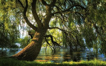 river, nature, tree, branches, iva