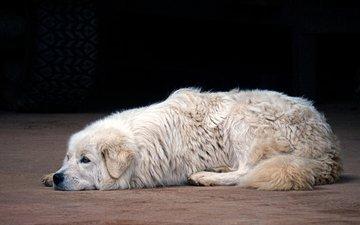 dog, the maremma, italian shepherd