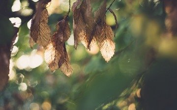 leaves, macro, autumn, blur