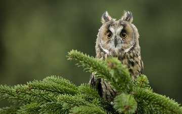 eyes, owl, needles, branches, look, bird, beak, long-eared owl