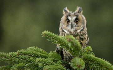 глаза, сова, хвоя, ветки, взгляд, птица, клюв, ушастая сова