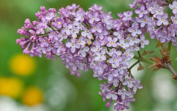 цветы, весна, сирень