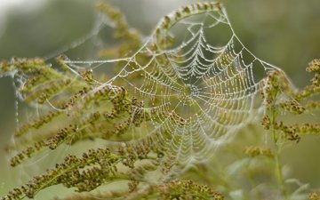 природа, растения, макро, капли, паутина
