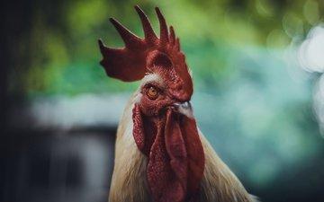 животные, птица, клюв, перья, курица, петух