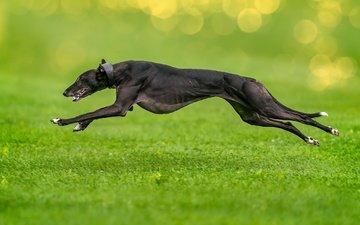 grass, dog, each, running, greyhound