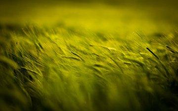 природа, растения, поле, размытость, колосья, пшеница