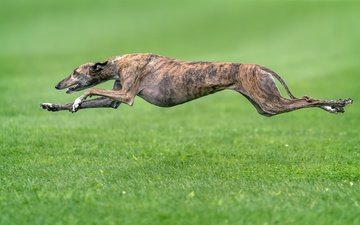 трава, собака, друг, бег, борзая