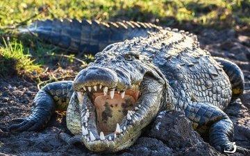 зубы, крокодил, пасть