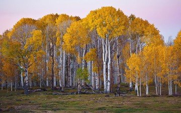 trees, forest, landscape, birch, autumn, usa, utah
