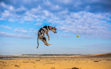 the sky, nature, sand, dog, jump, the game, the ball, paul loader