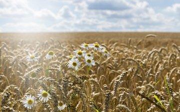 небо, цветы, растения, пейзаж, поле, колосья, пшеница, ромашки