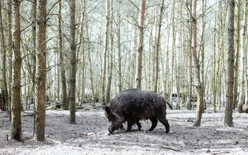 trees, nature, forest, boar