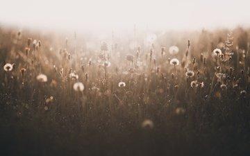 трава, природа, растения, туман, поле, лето, одуванчики