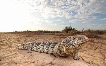 природа, животные, ящерица, рептилия, пресмыкающиеся