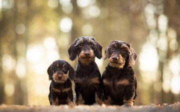 look, puppy, dachshund, dogs, faces, wire-haired dachshund
