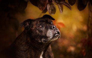 leaves, muzzle, look, dog, bull terrier, staffordshire bull terrier