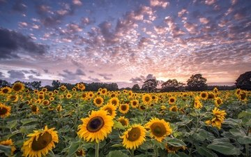 the sky, flowers, clouds, trees, field, horizon, sunflowers
