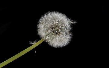 цветок, черный фон, одуванчик, пух, пушинки, былинки