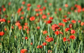 цветы, трава, природа, лето, красные, маки