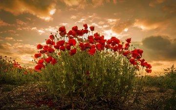 небо, цветы, облака, растения, красные, маки