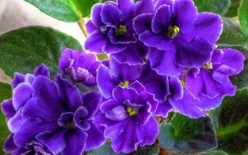 flowers, leaves, macro, petals, purple flower, violet