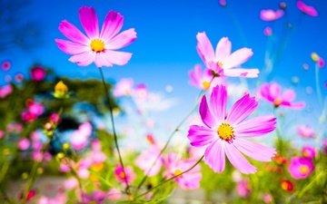 небо, цветы, макро, фон, лепестки, стебли, космея