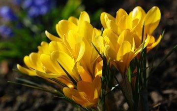 цветы, природа, растения, макро, желтые, крокусы, первоцветы