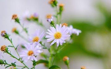 цветы, природа, лепестки, размытость, ромашки, белые, стебли