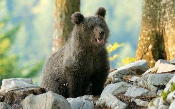 деревья, природа, камни, медведь, детеныш, медвежонок, боке