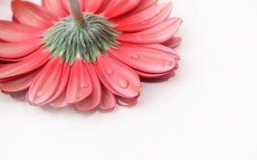 background, flower, drops, petals, gerbera