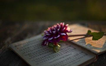 hintergrund, blume, noten, blütenblätter, dahlie