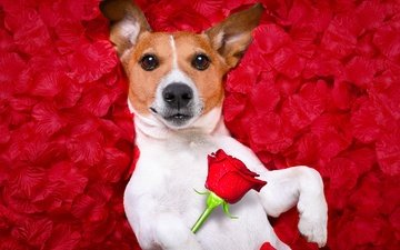 background, flower, portrait, rose, petals, red, humor, photoshop, jack russell terrier