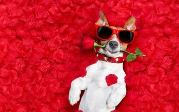 background, flower, rose, red, glasses, lies, humor, wet, rose petals, jack russell terrier