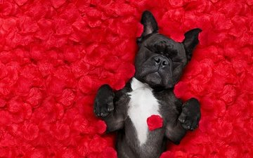 фон, розы, лепестки, красный, лежит, юмор, бульдог, лепестки роз, французский бульдог