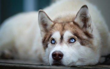 мордочка, взгляд, собака, хаски, голубые глаза, сибирский хаски