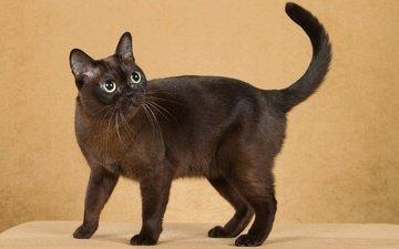 кот, мордочка, усы, кошка, взгляд, бурманская