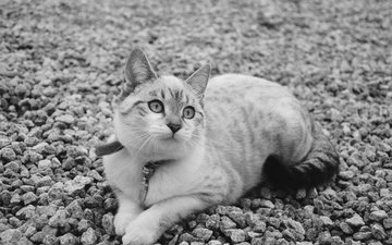 stones, cat, muzzle, mustache, look, lies, black and white