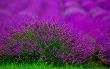 flowers, field, lavender, blur, bush, bokeh
