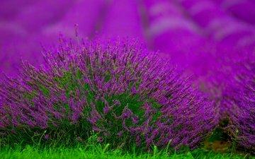 цветы, поле, лаванда, размытость, куст, боке