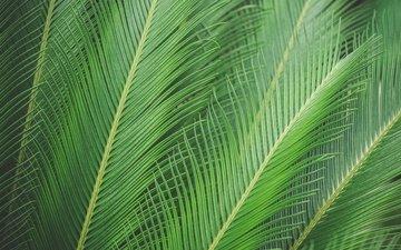 природа, листья, лист, пальма